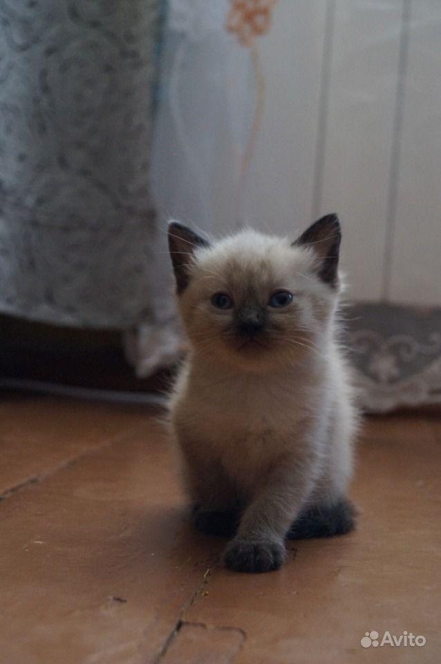 Тайская кошка | Отзывы покупателей