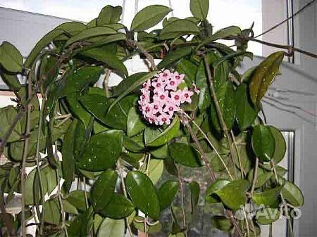Хойя (цветущая) купить на Зозу.ру - фотография № 7