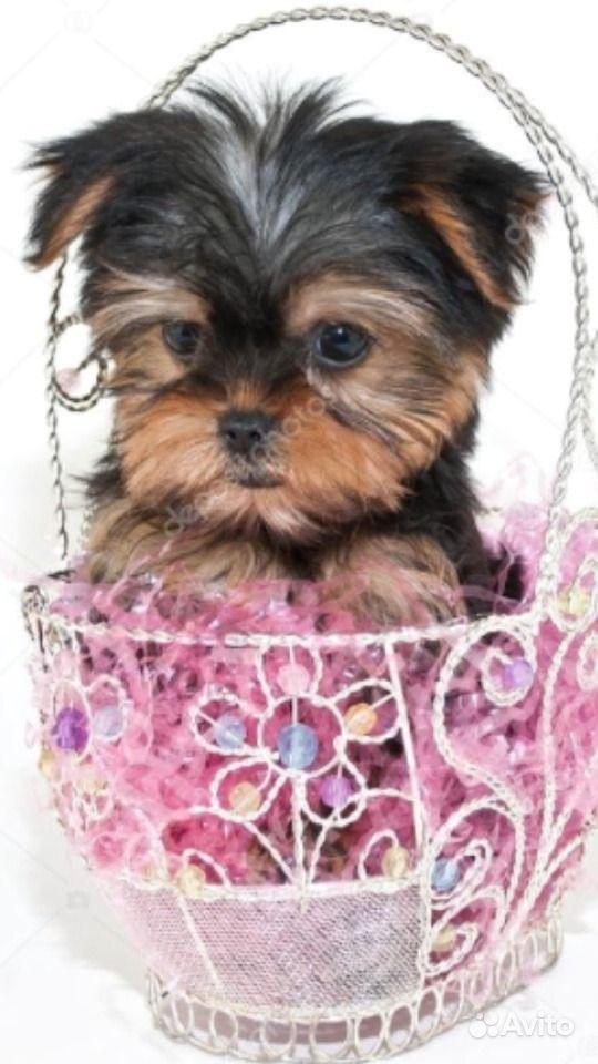 Маленькие собачки в Краснодаре - фотография № 1
