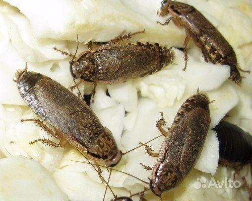Кормовые тараканы