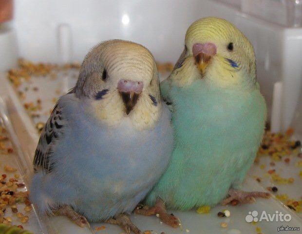 Попугаи молодые, джунгарские хомяки, амадины в Джанкое - фотография № 3