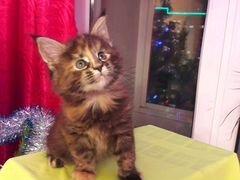 Бирманские кошки цена частные объявления в сергиев посад разместить объявление сдам днепропетровск