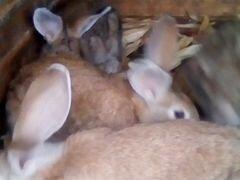 Продаются кролики самки и самцы