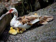 Индоутка / Мускусная утка, инкубационное яйцо