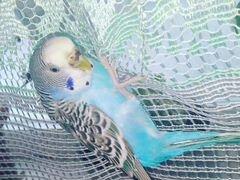 Продам волнистого попугая,самочка 1.5г Продается в
