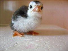 Цыплята цесарки (цесарята)