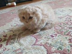 Котнок шатланская веслоушка в магазинах котенок ст