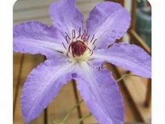 Клематис крупноцветковый