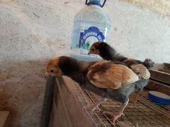 Цыплята породы форверк