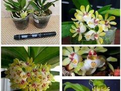 Сортовая редкая орхидея