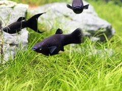 Аквариумные рыбки, водоросли