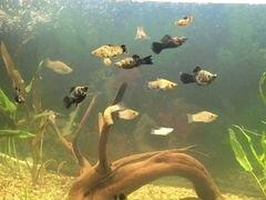 Аквариумные рыбки моллинезия 10 штук