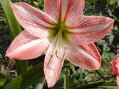 Комнатный цветок-гиппеаструм