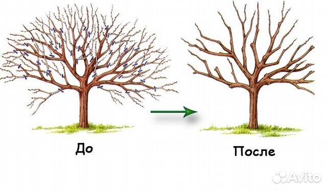 Формирование кроны яблони фото.