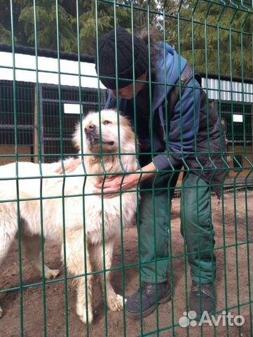 Горшая пиренейская собака в добрые руки, близкий м купить 6