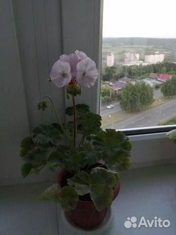 Герань нежно-розовая с гошком  89127663502 купить 1