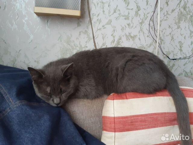 Отдается кот Русская голубая 89105329666 купить 1