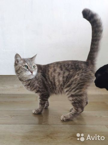Кошка Плюша, 1 год  купить 1