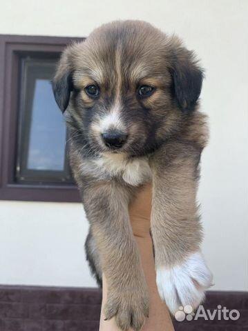 Собака  89277420768 купить 1