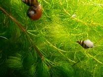 Улитки хелена