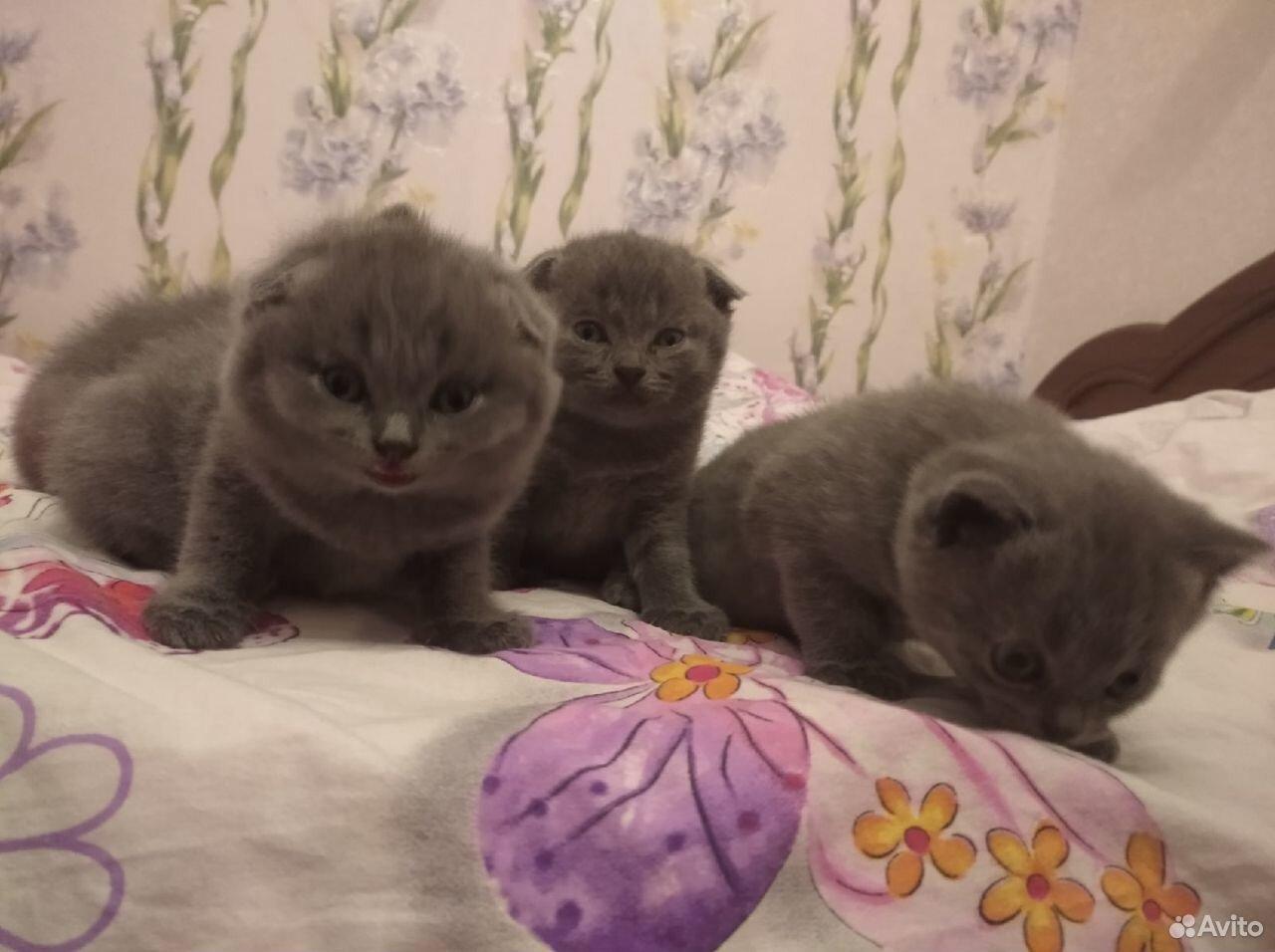 Британские котята, 2 вислоухий, 2 остроухий  89041475547 купить 4