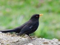 Птенец чёрного дрозда