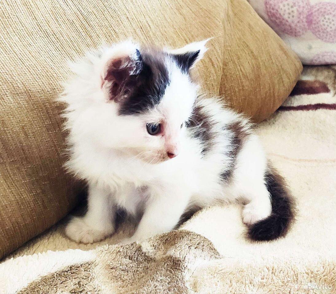 Котенок Мейн-кун мальчик