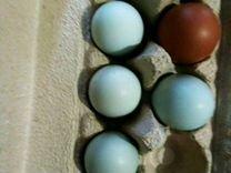 Инкубационное яйцо породистых кур Амераукана