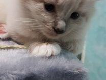 Очаровательный котенок мальчик в Колпино