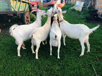 Продаю молочных дойных коз
