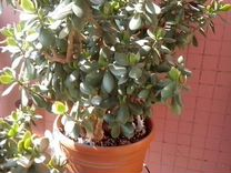 Крассула(денеж дерево) Ростки отдам в добрые руки
