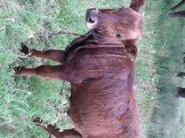 Трёх месячный бычка продам