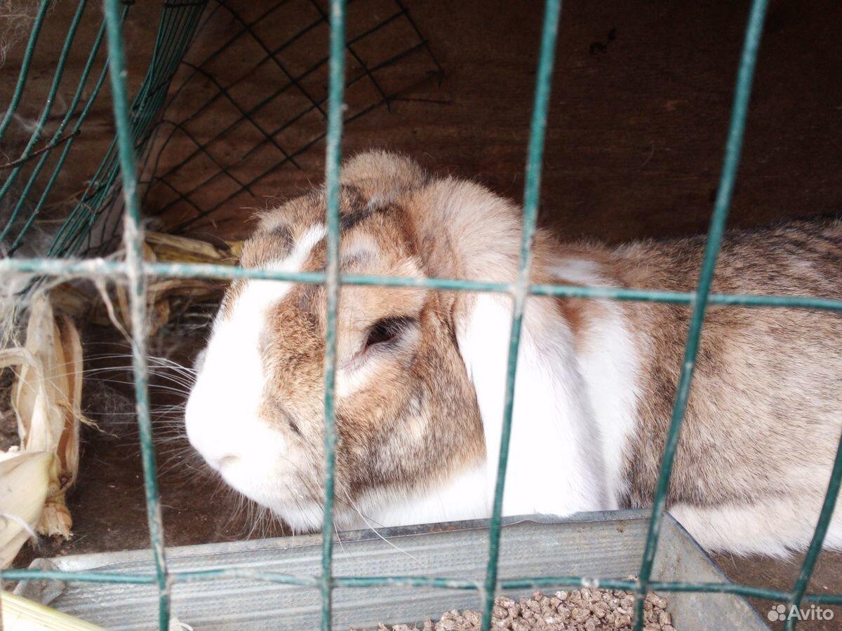 Кролики породы баран  89940099309 купить 1