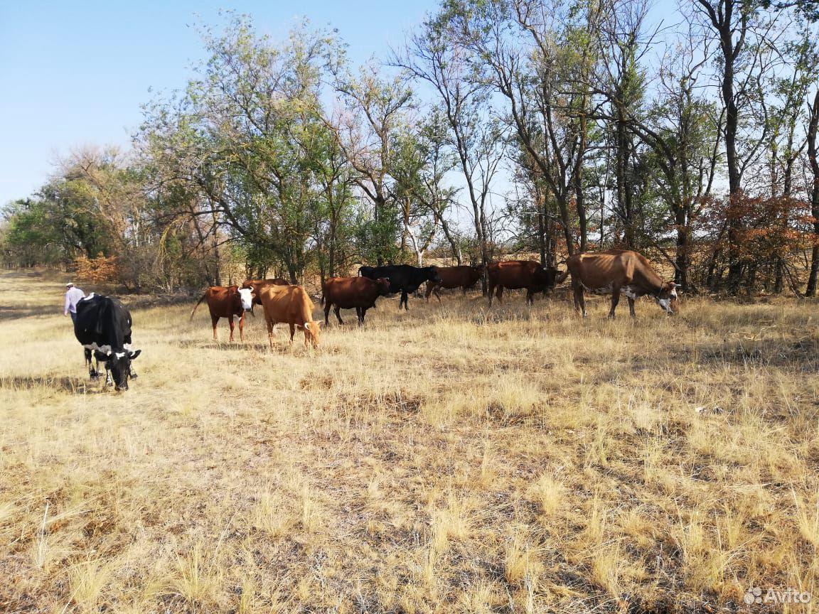 Коровы  89187812497 купить 2